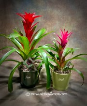 Bromeliad - $60 small $75 large (plus tax and delivery) Attractive Bromeliad plant in ceramic pot.  One of the best tropical plants for your home or office. Small is $60.00 Large is $75.00