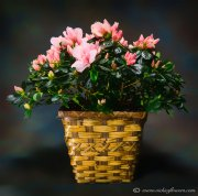 Mothers-Day-Flowers-005 $65 (plus tax and delivery) Live Azalea  planter in basket.