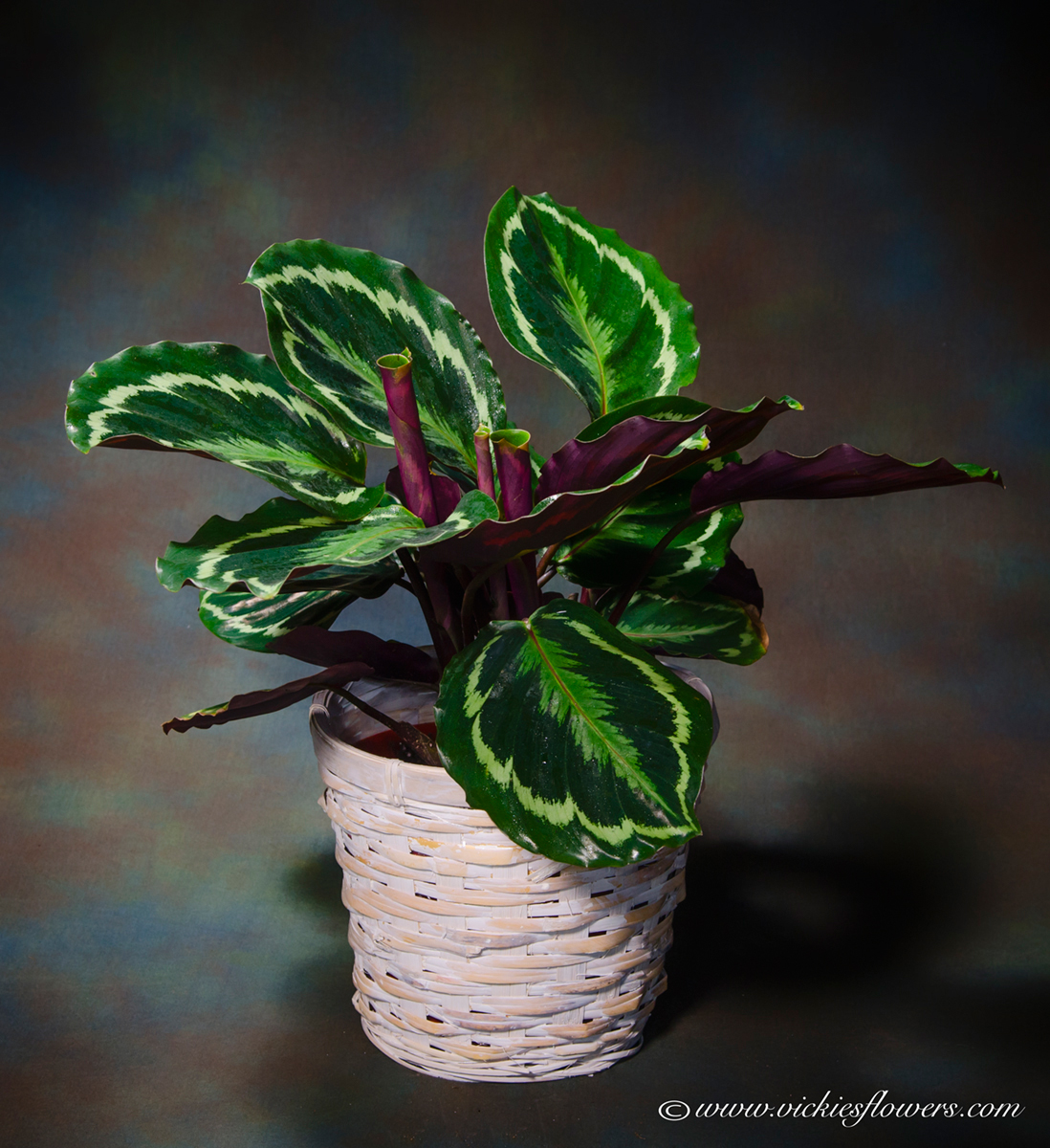 Indoor Plants Ip 005 55 Plus Tax And Delivery Colorful Croton Plant With Bright Green Yellow Foliage In A Wicker Basket Perfect To Brighten Up Any
