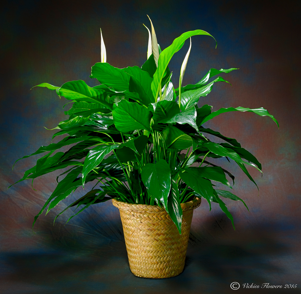 Indoor Plants For Home & Office | Green Plants | Vickies Flowers ...
