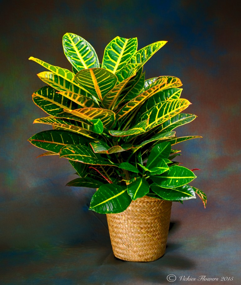 Photograph of Colorful Croton plant with bright green and yellow foliage in a wicker basket. Perfect to brighten up any home or office.