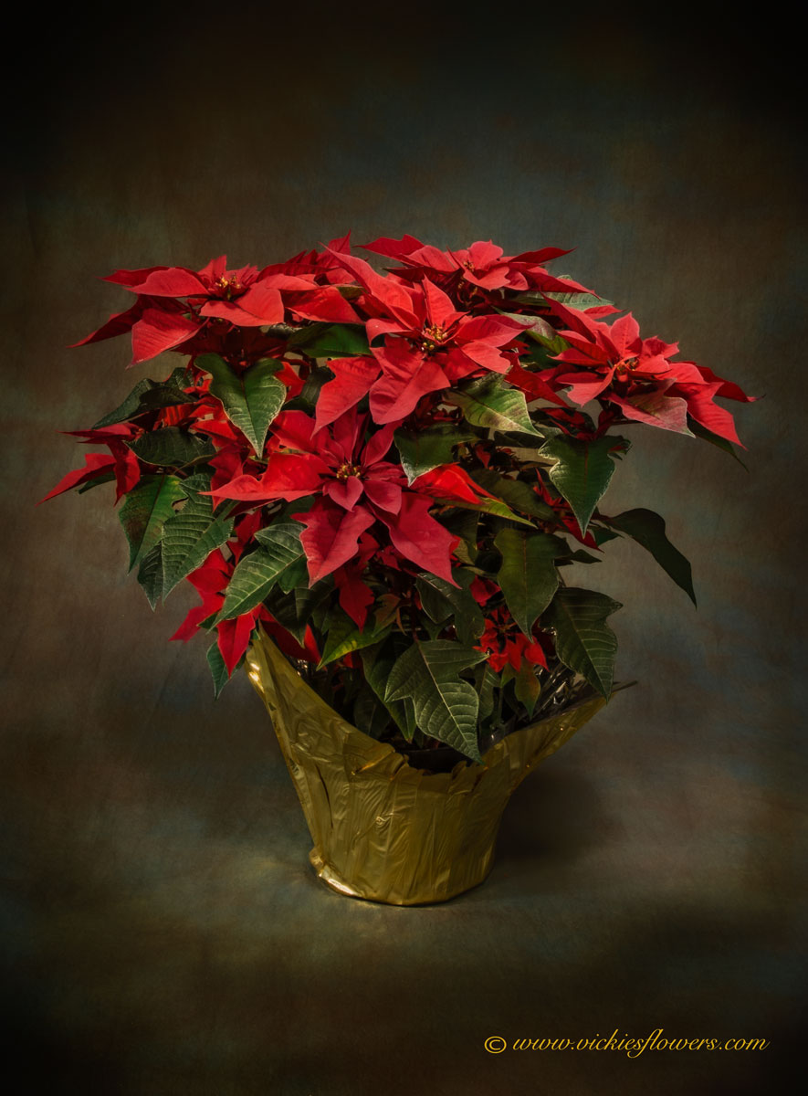 Photograph of Colorado grown Poinsettia from Hardy Boy, a traditional holiday plant gift and decoration.