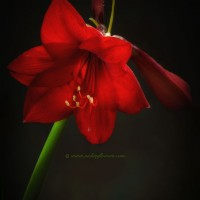 Macro photograph of beautiful richly toned red Amaryillis.
