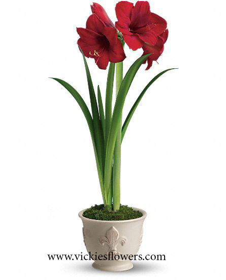 Photograph of Amaryllis poisonous to dogs and cats