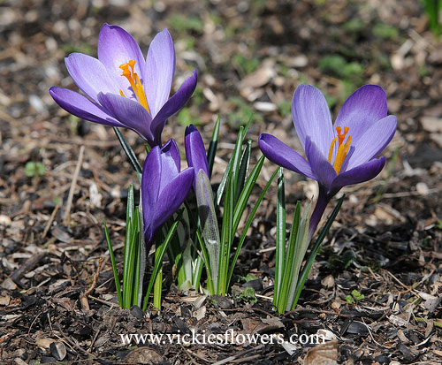 Photograph of Crocus poisonous to dogs and cats