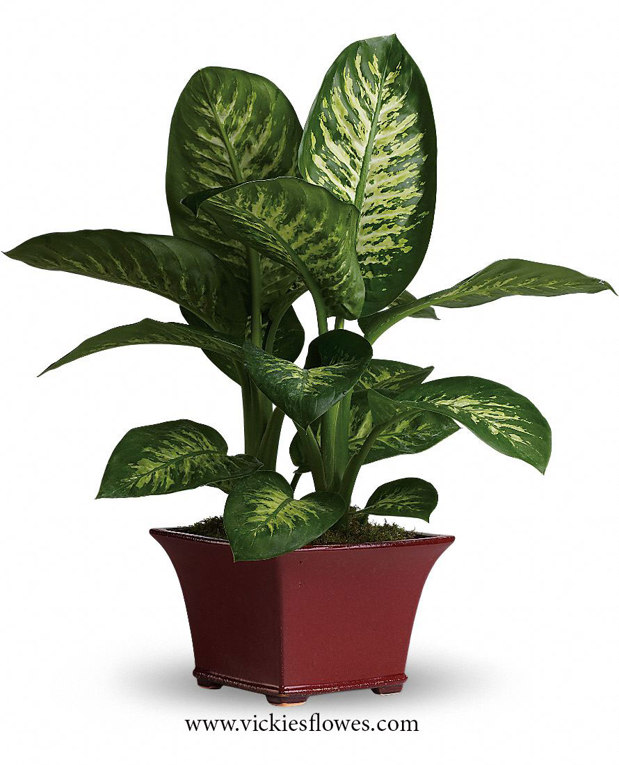 Photograph of Dumb Cane poisonous to dogs and cats
