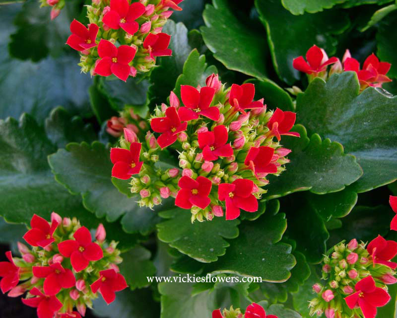 Photograph of Kalanchoe poisonous to dogs and cats
