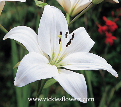 Photograph of Lily poisonous to dogs and cats