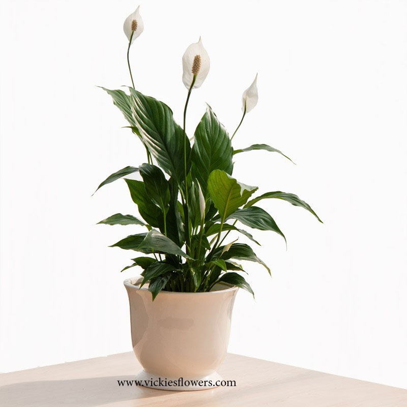 Photograph of Peace Lilly poisonous to dogs and cats