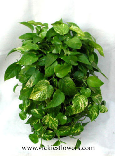 Photograph of Pothos poisonous to dogs and cats