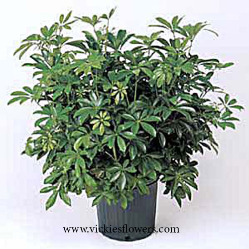 Photograph of Schefflera-Arboricola poisonous to dogs and cats
