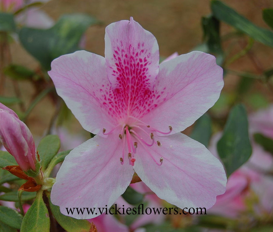 Photograph of Azalea poisonous to dogs and cats