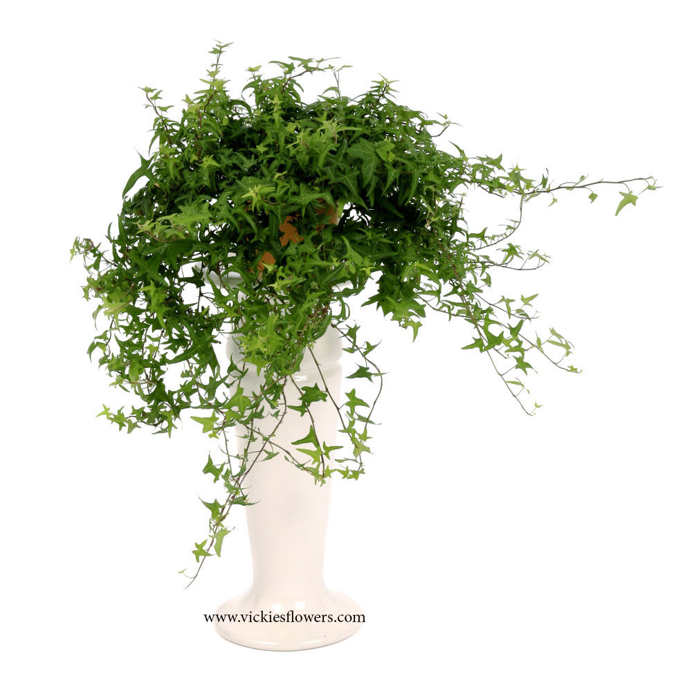Photograph of English Ivy poisonous to dogs and cats