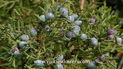 Photograph of Juniper poisonous to dogs and cats