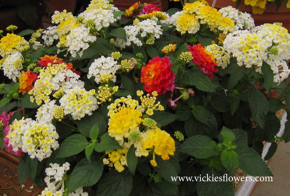 Photograph of Lantana poisonous to dogs and cats