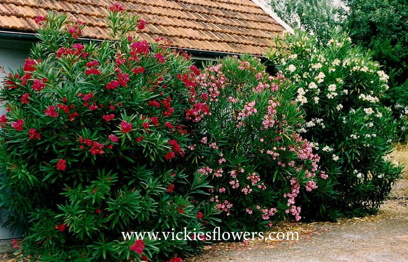Photograph of Oleander poisonous to dogs and cats