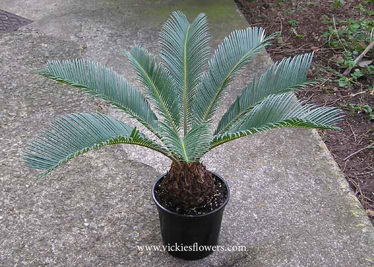 Photograph of Sago-Palm poisonous to dogs and cats