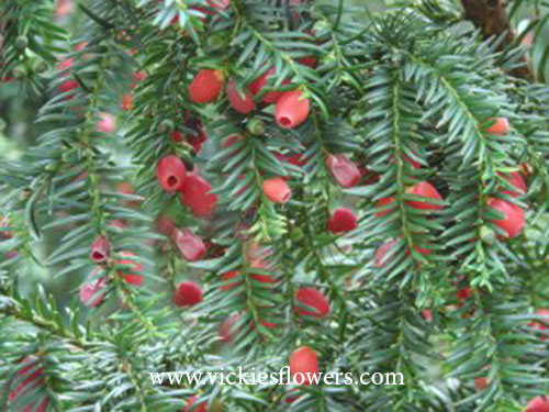 Photograph of taxus-baccata-Yewpoisonous poisonous to dogs and cats
