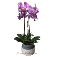 Photograph of light purple phalaenopsis orchid plant